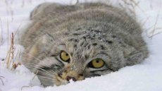 The largest manul cat population in Russia lives in Tuva
