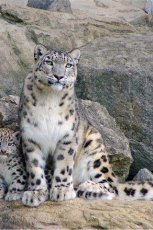 Sixty snow leopards live in Tuva
