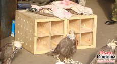 Tuva. Confiscated baloban falcons released. Some of the birds could not fly.