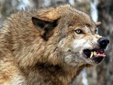 In 2012, 581 wolves were destroyed in Tuva