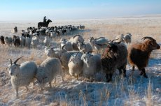 Livestock is doing well this winter in remote Tuvan districts