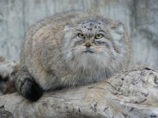 "Project ""Wild cats of South Siberia"" will take place this year in Tuva"