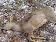 Vicious poachers arrested on New Year's Eve in Tuva