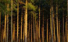 Rehabilitation of relict pine forest in Tuva